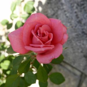 庭植えのミニバラ