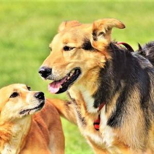犬の去勢のメリットとデメリット オスの発情期にどう対処する?