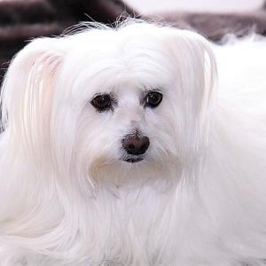 【流涙症】犬の涙やけのケア クリーナーやフードの選び方