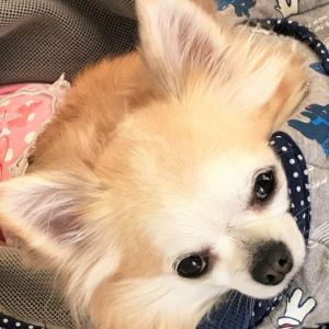 【頻尿血尿】犬の尿路結石をフード・食事管理で改善させた体験談