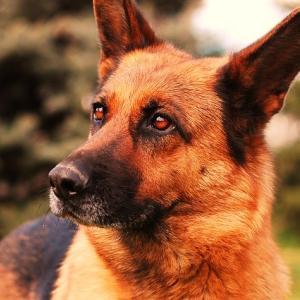 犬の腎不全の進行ステージと余命 検査数値の捉え方について