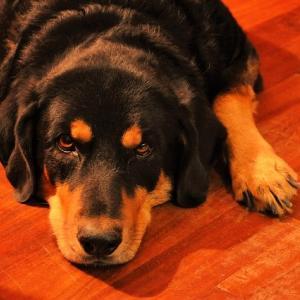 犬の腎臓病の末期「尿毒症」 口臭や震えの症状に気をつけて