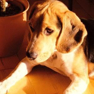 犬のてんかんの薬と副作用 意識や食欲への影響について