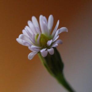 ヒロハホウキギク(広葉箒菊)