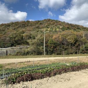 2020年11月30日 続さつま芋収穫