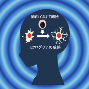 脳のCD4 T細胞はミクログリアの成熟を促す