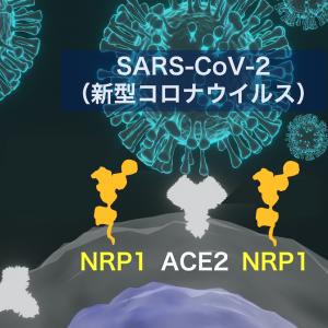 新型コロナウイルスのヒト細胞感染とニューロピリン1(NRP1)