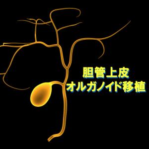 ヒト胆管上皮オルガノイドの可塑性と移植利用