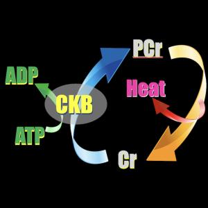 『無益クレアチン回路』による褐色脂肪細胞での熱産生