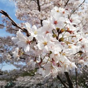 【瑞穂区役所の贅沢カフェ】バルーガ(Valluga)で贅沢桜モーニング|お花見の一休みに|汐路桜ロード
