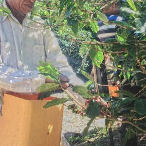 主なコーヒー生産国(中央アメリカ・カリブ海地域編)