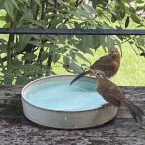 冷たい雨でも水浴びするガビ鳥