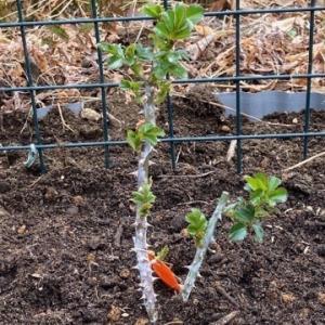 今日もバラの鉢植えを地植えに