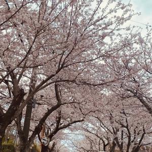 桜が満開 人もいっぱい。