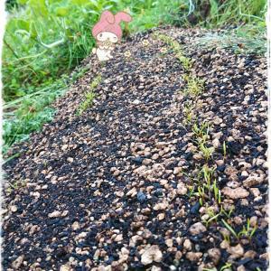 畑の現状 ⑩ ~新しい芽と開花間近の蕾発見 ~