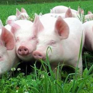 豚の正当な地位とは