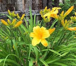 この時季 黄色い花に囲まれています