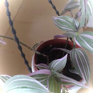 何でしょう?薄いピンクのライン入りの葉っぱ。