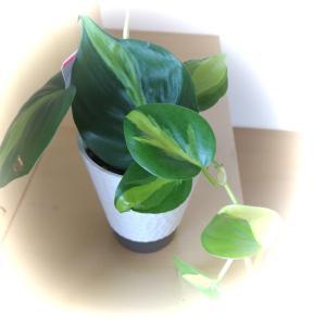 可愛い葉っぱのフィロデンドロン