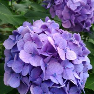 色とりどり紫陽花