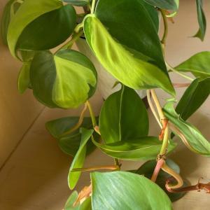 100均で購入した植物その後(フィロデンドロン?)