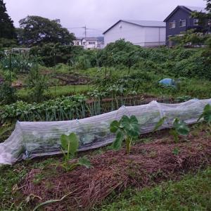 ぷあくんの市民農園・雨風強し