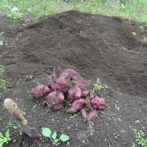 パグの大好物・サツマイモの収穫