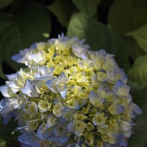 2020.7.19 紫陽花が咲き始めた