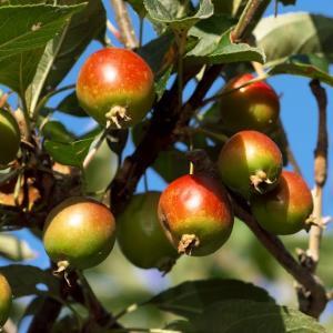 2020.9.6 今季も成るかなヒメリンゴ