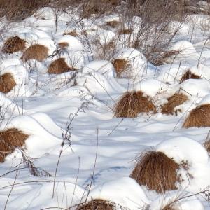 2020.11.10 冬の谷地坊主(釧路湿原)