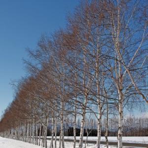 2020.12.1 白樺並木