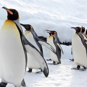 2021.1.15 ペンギンの散歩(旭山動物園)