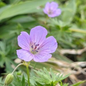北信州 花の百名山 根子岳へ④