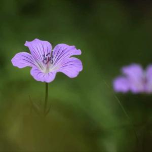 志賀高原夏の花④ ハクサンフウロなど