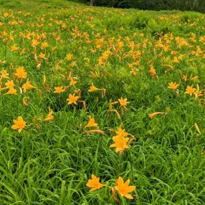 志賀高原夏の花⑤ キスゲ編