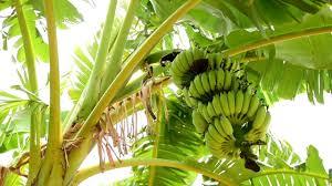 【バナナの木】ではなく【バナナの草】が正解だと?マジで?【雑学】
