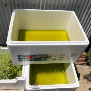 ミジンコ雨に負け、紅薊の緊急避難と新しい60センチ水槽立ち上げ