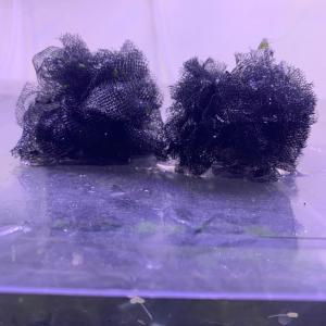 虫が鳴く夏…産卵床作りで、はるちゃんも鳴く 紅薊ヒカリ体型?