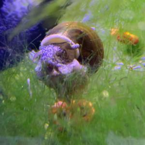 ヒメタニシ スネールを食す⁉️ どうしても撮れない…松井ヒレ長の横見の怪