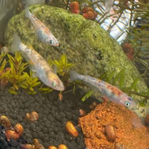 日本庭園と三色ラメ 初公開 三色ラメ種親水槽。木村さんっ、メダカは横見っすよ❗️