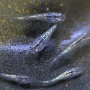 サファイア 針子から稚魚へ ニアイコール琥珀ラメ⁉️ OR イコール黒ラメの青いバージョン⁉️