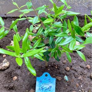 今週は、、、『Olive Week』!【雑記】