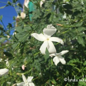 ジャスミンの花のいろいろ活用法