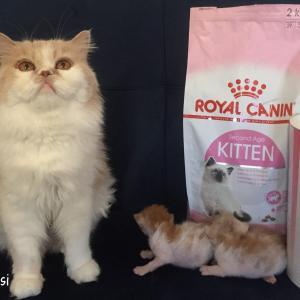 【安心】仔猫の栄養サポート!ロイヤルカナン・ベビーキャットミルク