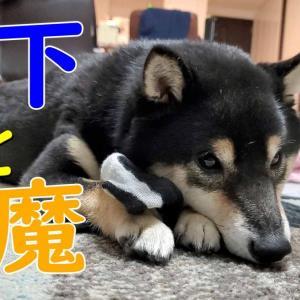 【睡眠】くつ下で遊んでたら眠くなってしまった豆柴犬【黒豆柴うみ】