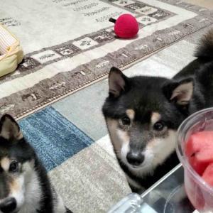 初めてのスイカに挑戦する黒豆柴犬