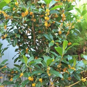 庭の金木犀で季節のしごと