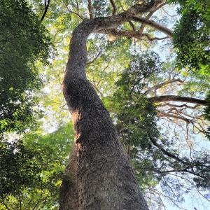 今年の旅は大樹巡礼