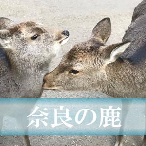 奈良の鹿は神の使い!?万葉集にも出てくる、鹿の歴史