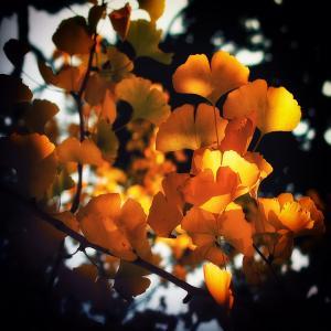 イチョウの黄葉(散歩写真37)